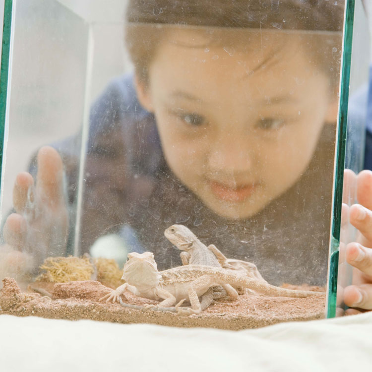child looking at lizards in a  tank